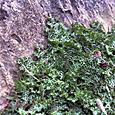 コブスタンの植物